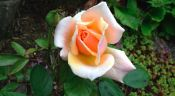 A Rose for Caron